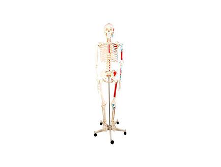ZMJY/A0006  全身骨骼附半身肌肉模型