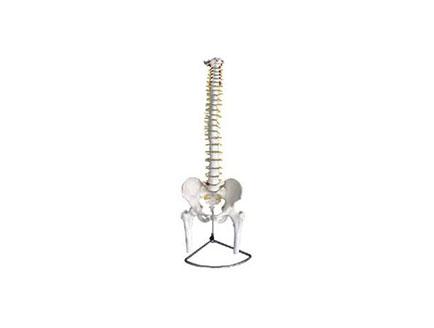 ZMJY/A1002 脊柱骨盆和股骨