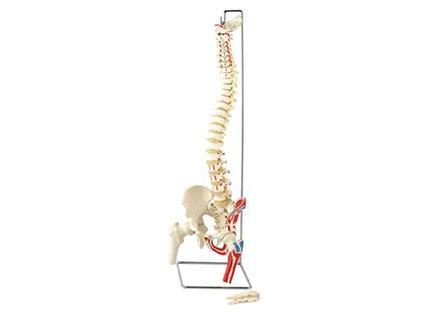 ZMJY/A1004  脊柱、骨盆股骨头半边肌肉模型