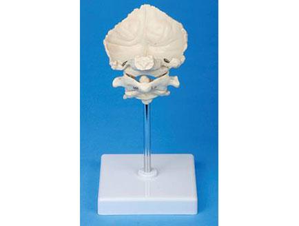 ZMJY/A1010 枕骨模型