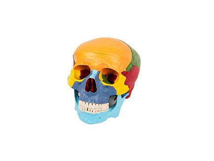 ZMJY/A2009  分离头颅骨模型