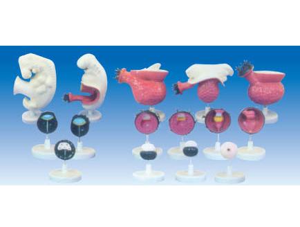 ZM6020 人体胚胎模型(每套17只)