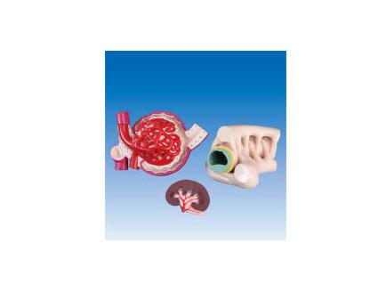ZM6034 肾单位、肾小球及足细胞