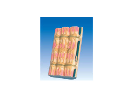 ZM6036 骨骼肌超微结构