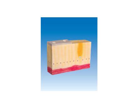 ZM6055 单层柱状上皮组织