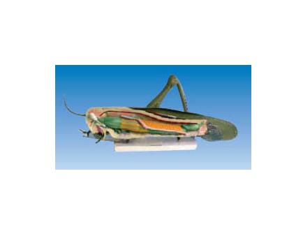 ZM7010 蝗虫模型