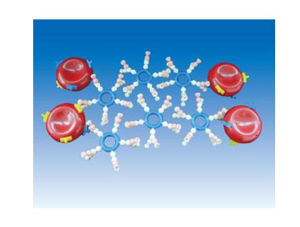 ZM7032 A、B、O血型演示板