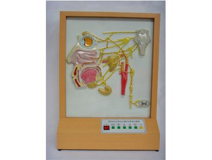 ZM8012 头部自主神经分布电动模型