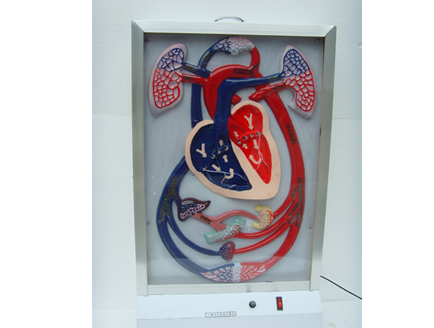 ZM8025 心脏搏动与血液循环电动模型