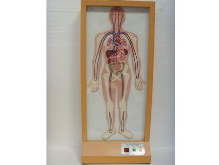 ZM8026 浮雕式人体大小循环电动模型