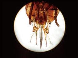 昆虫咀嚼器装片