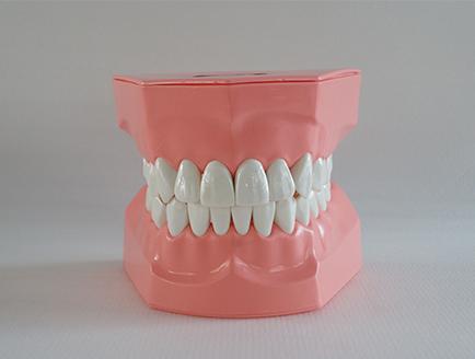 ZM-A8-01_N11  2倍大刷牙模型