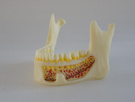 ZM-DSC02001_P1仿真下颌骨解剖模型