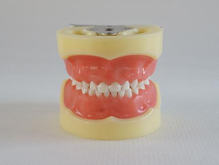 ZM-DSC02021_A3标准乳牙模型