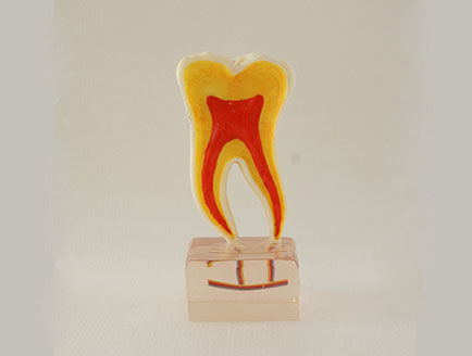 ZM-DSC02171_C20六倍正常牙齿解剖