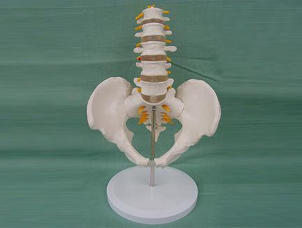 ZM1023-11-1 5节腰椎带骨盆腿骨模型(自然大)