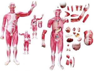 世界各地ZM1042-4 全身肌肉附内脏模型