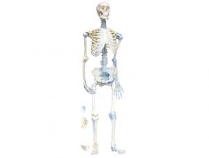 世界各地ZM1033 人体骨连接模型