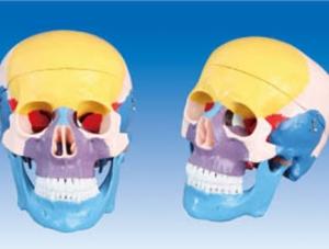 ZM1007 颅骨骨色分离模型