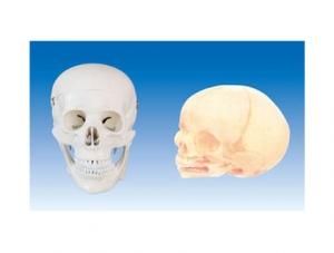 ZM1005 成人头颅骨模型
