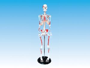 ZM1003-1 人体骨骼附肌肉附着点着色模型