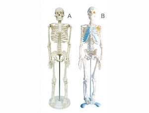 ZM1003 人体骨骼模型