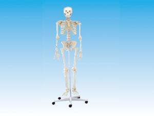 ZM1002-1 女性全身骨骼模型