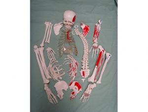 ZM1001-6 未组装的人体骨骼附肌肉起止点模型