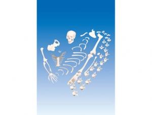 ZM1001-5 未组装的人体骨骼模型