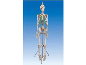 ZM1001-2 男性真尸骨骼
