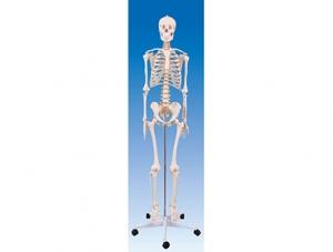 ZM1001 男性全身骨骼模型