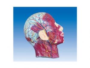 ZM1182 颜面浅层肌肉神经血管