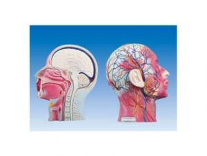 ZM1183 头颈正中矢状切面附血管神经模型