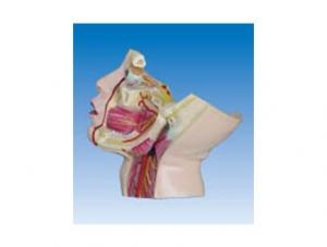 ZM1183-1 颈部浅层神经和血管