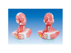 ZM1184 头、面、颈部解剖和颈外动脉配布模型