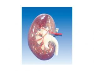 ZM1196 透明肾段(附A)