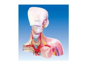 ZM1199 颅腔及头颈胸局解