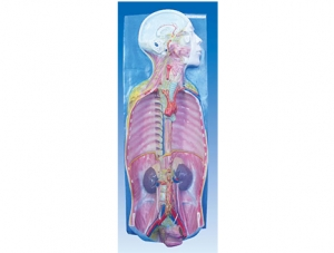 ZM1201 自主神经解剖