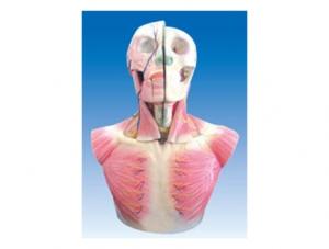 ZM1203 头颈部层次解剖附脑N.A