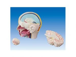 世界各地ZM1214 头部解剖附脑模型