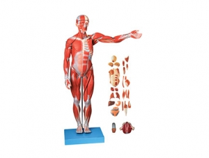 ZMJYA7001男女两性互换人体肌肉附内脏模型