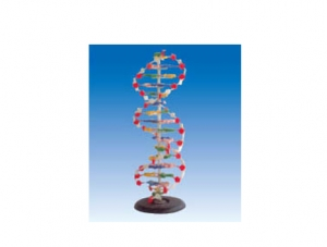 ZM6014-1 DNA结构模型