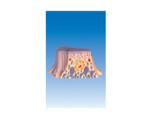 ZM6048 肾脏近曲小管上皮细胞的超微结构