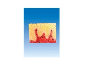 ZM6056 复层扁平上皮组织