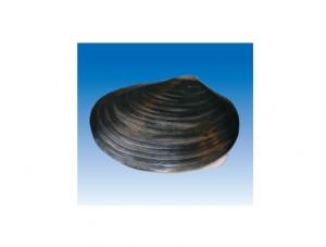 ZM7022 河蚌解剖模型