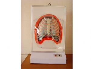 ZM8009 人体呼吸运动电动模型