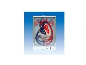 ZM8020 心脏搏动与血液物质物循环生动模型