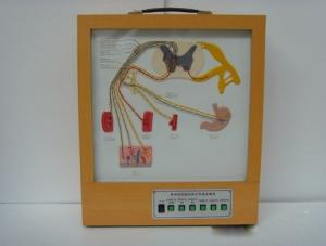 ZM8021 脊神经的组成和分布电动模型