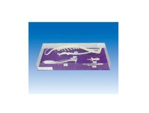 脊椎动物五纲脊椎比较