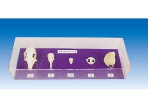 脊椎动物五纲头部比较